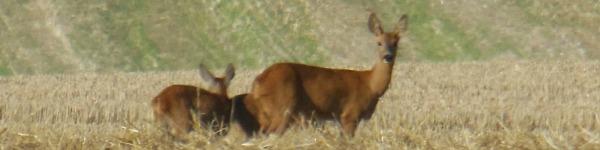 Chevreuils dans un champ moissonné