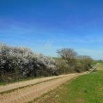 Sur le chemin de l'école : les prunelliers en fleur au mois de mars