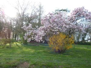 Le jardin et son grand magnolia, en fleurs
