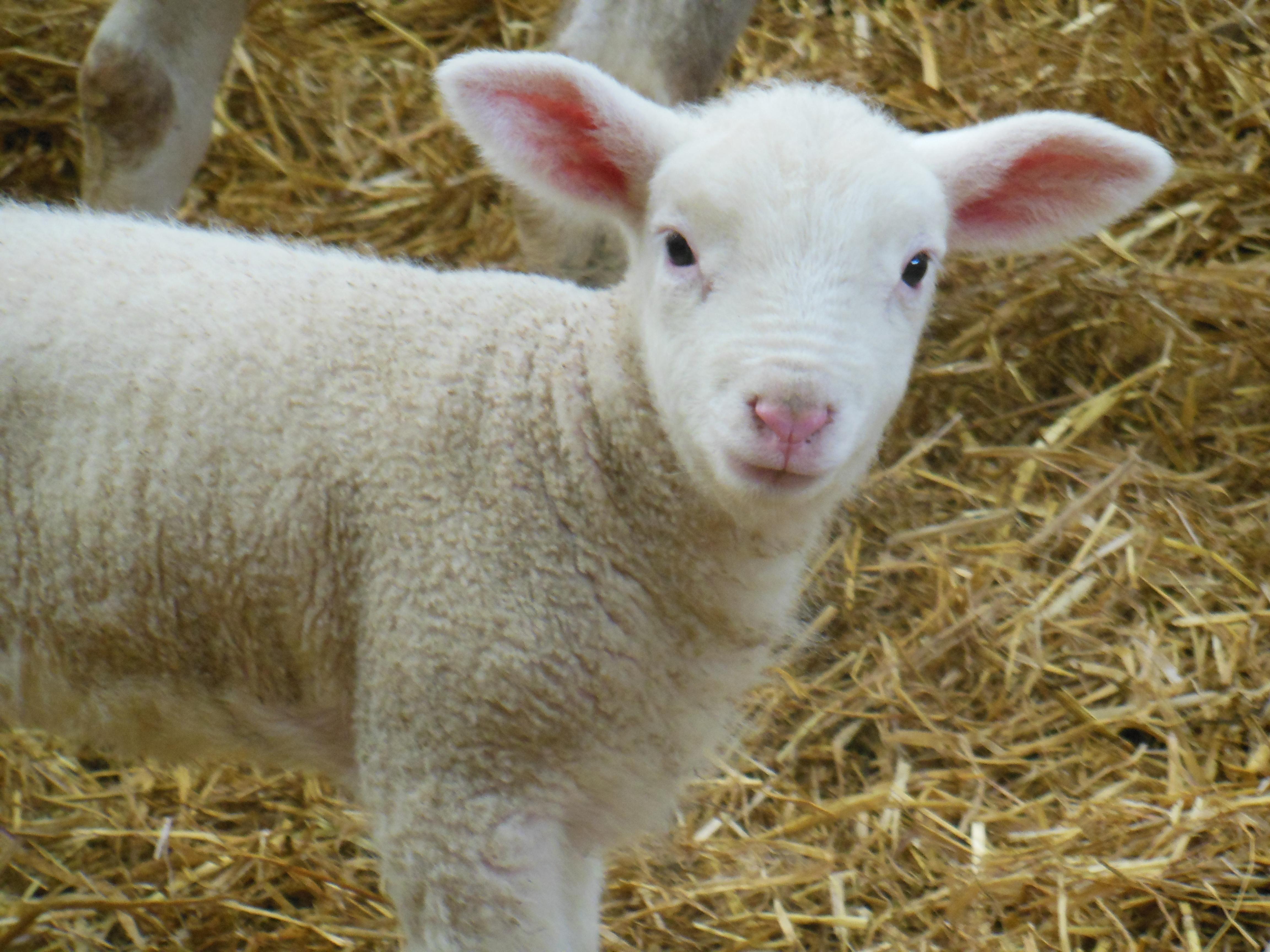 Un tout jeune agneau